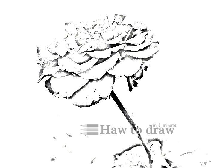 drawings of roses 14