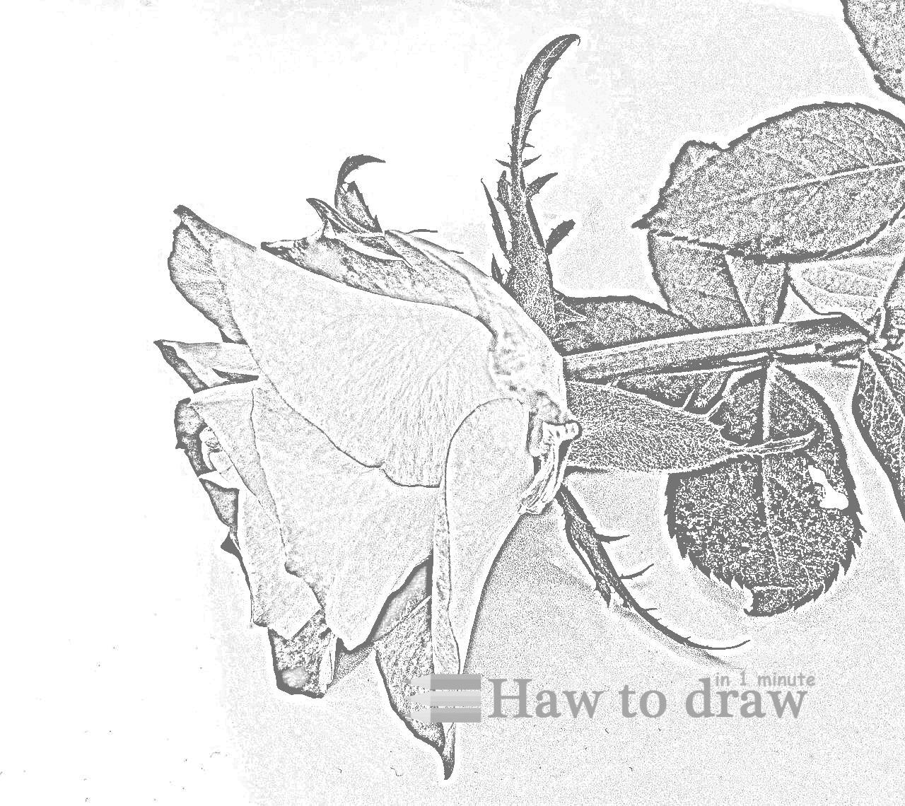 drawings of roses 15