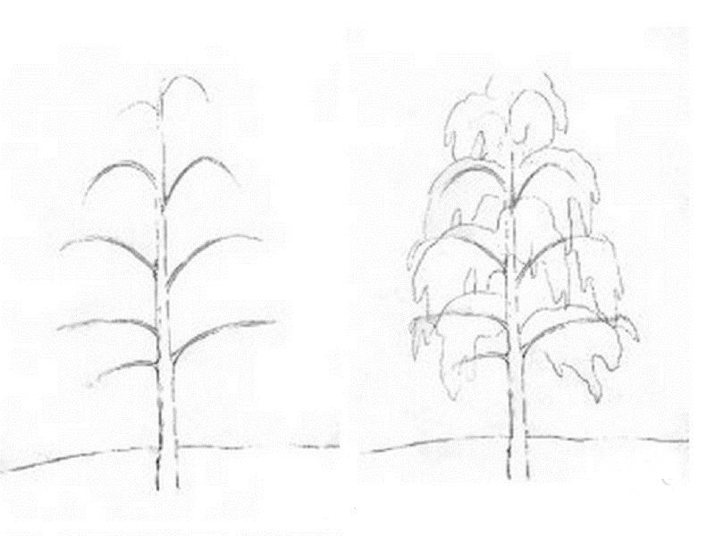 how to draw a birch tree 2