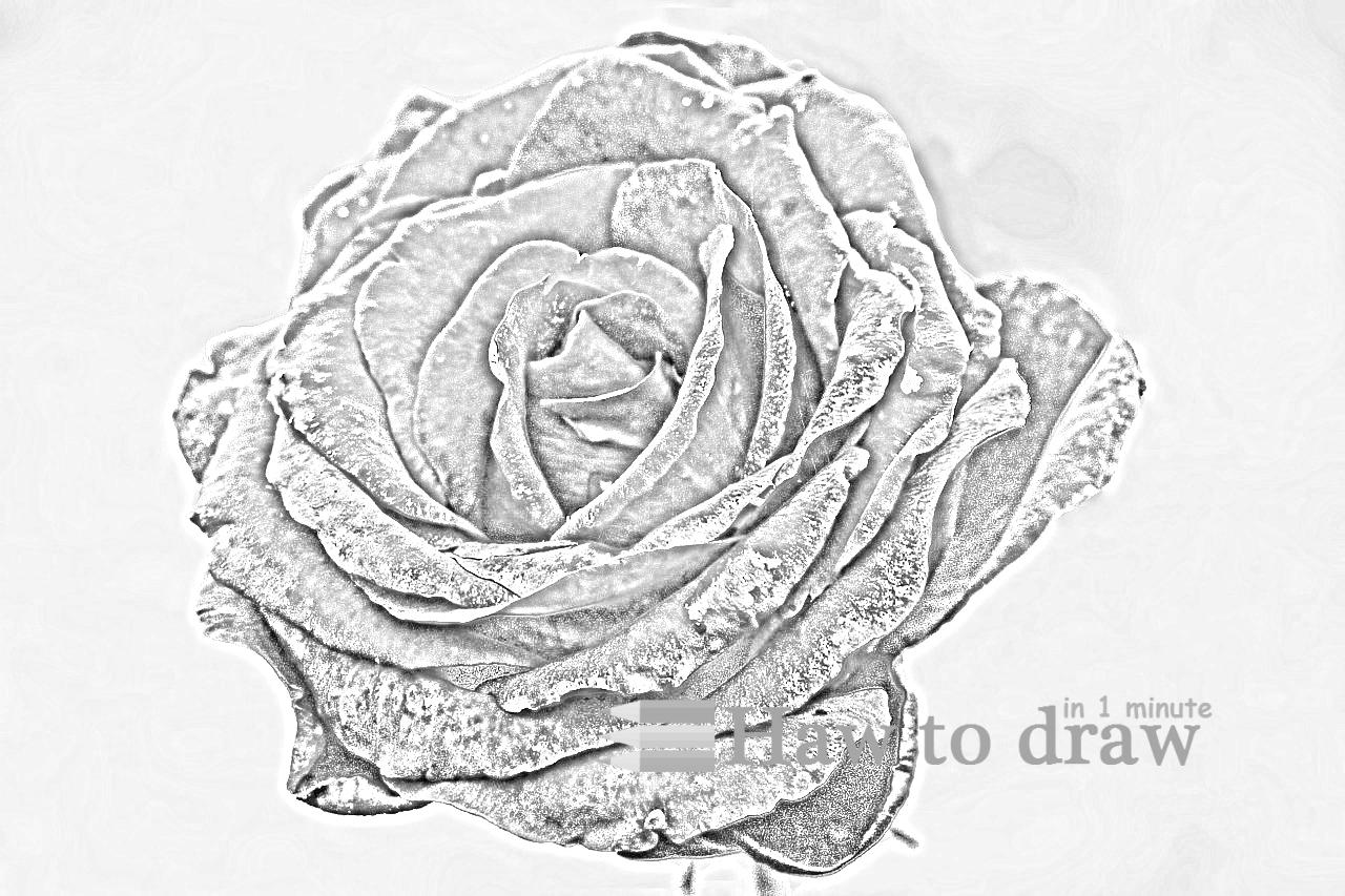 drawings of roses 10