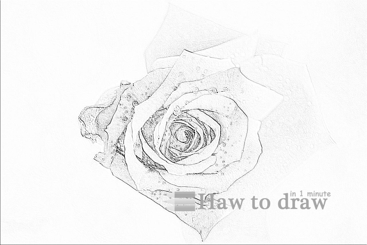 drawings of roses  (2)