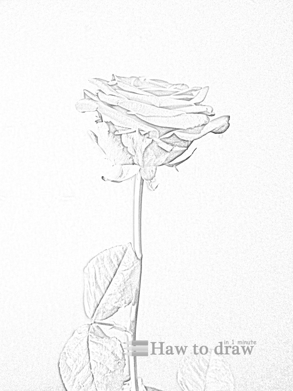 drawings of roses 6
