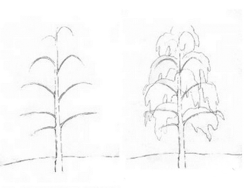 how to draw a birch tree 2